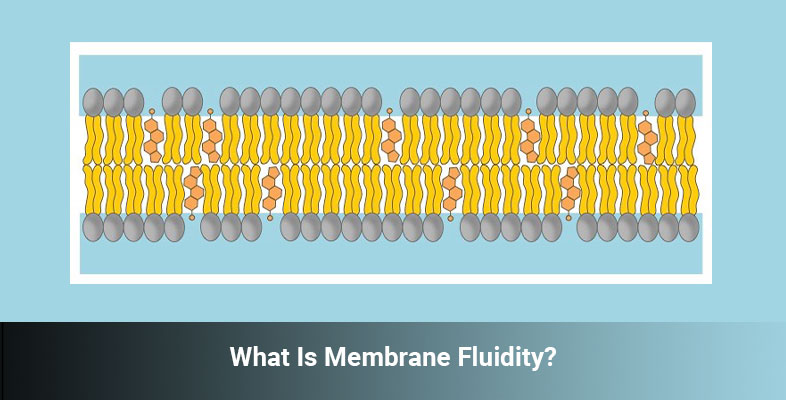 What Is Membrane Fluidity